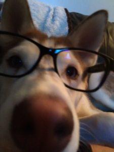 Siberian Husky with black glasses very close to camera
