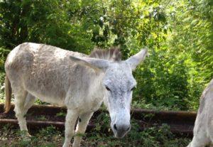 Gray-white donkey