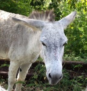 Gray-white Donkey